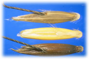 Seed Photograph of wild oats from the seedimages database